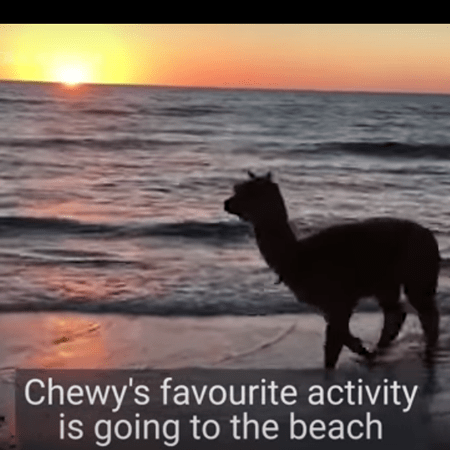 Chewy the alpaca at the beach